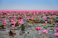 Lake With Lotos Flowers. Pond with pink blooming flowers Stock Image
