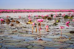 Lake With Lotos Flowers. Pond with pink blooming flowers Royalty Free Stock Images