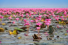 Lake With Lotos Flowers. Pond with pink blooming flowers Royalty Free Stock Photo