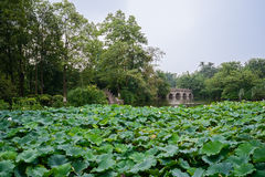 Lake of lotus in cloudy summer Stock Images