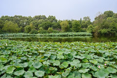 Lake of lotus in sunny summer Stock Images