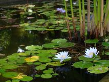 Lake with lotuses. Are beautiful sort on lake with lotuses Royalty Free Stock Images