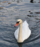Lake Lucerne Swan, Switzerland Stock Photos