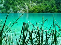 The lake with luminous azure-colored water behind the sharp leaves of reeds. Plitvice Lakes, Croatia royalty free stock photos