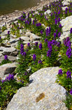 Lake and lupine flowers Royalty Free Stock Image