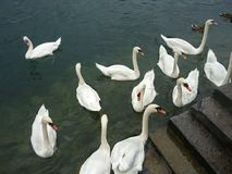 Lake Luzern Swans Royalty Free Stock Photography
