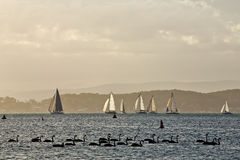 Lake Macquarie boats and swans Royalty Free Stock Images