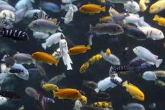Lake Malawi Cichlids. Lots of Lake Malawi Cichlids (Cichlidae) swimming in a tank Royalty Free Stock Photo