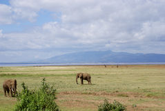 Lake Manyara: elephants and giraffes. Lake Manyara in the background with elephants on the front and a few giraffes in the background Stock Photo