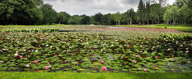 Lake with masses of water lilies Royalty Free Stock Image