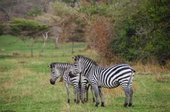 Zebras in Lake Mburo National Park. Lake Mburo National Park is located in the Western Region of Uganda, and has a variety of animals such as zebras, hippopotami stock image