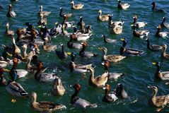 Lake Mead Area - Duck Feeding Frenzy Royalty Free Stock Image
