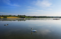 Lake in the morning. Peacefull lake in the morning time with a swan and ducks Stock Image