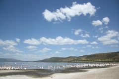 Lake nakuru. Lots of birds in the water of lake nakuru, kenya Royalty Free Stock Images