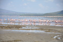 Lake Nakuru flamingos Stock Images