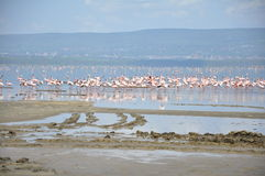Lake Nakuru flamingos Royalty Free Stock Images