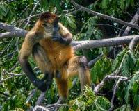 Lake Nicaragua monkey island. Kayaking in Lake Nicaragua finding monkeys living on the islands royalty free stock photos