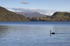Lake Okareka with a black swan Stock Photography