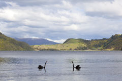 Lake Okareka with black swans Stock Image