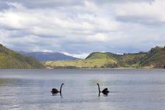 Lake Okareka with black swans Stock Image