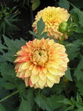 Lake Ontario Dahlia with red-lines bright yellow leaves Royalty Free Stock Photography