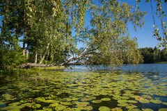 Lake, overgrown with water lilies Royalty Free Stock Photos