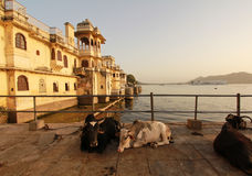 Lake Palace with Cows in front. Lake Palace with cows sitting on wharf Royalty Free Stock Image