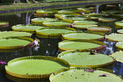The lake in park with Victoria amazonica, Victoria regia. Mauritius. Stock Photo