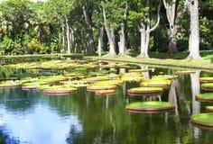 The lake in park with Victoria amazonica, Victoria regia. Mauritius Stock Image