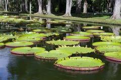 The lake in park with Victoria amazonica, Victoria regia. Mauritius Stock Photography