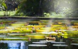 The lake in park with Victoria amazonica, Victoria regia. Mauritius Stock Photo