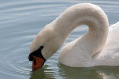 A close portrait of a swan in Orestiada Lake of Kastoria, Greece. The lake is part of the Aegean Lakes group and is located at 703 meters above sea level. There royalty free stock photos