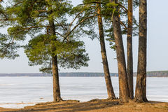 Lake and pine growing on the shore Stock Photo
