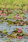 The lake of pink water lily Stock Photography