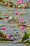The lake of pink water lily Royalty Free Stock Photos