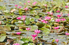 The lake of pink water lily Stock Photo