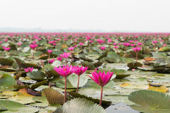 Lake of pink water lily landscape in Udonthani royalty free stock image