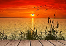 Lake plants. Some plants on the lake with a red sunset with birds Royalty Free Stock Photography