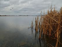 Lake during rainy weather. Dry common reed, lake, rainy weather stock image
