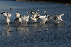 Lake red-crowned crane Royalty Free Stock Image