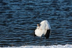 Lake red-crowned crane Stock Photography