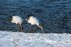 Lake red-crowned crane Royalty Free Stock Images