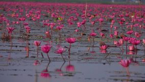 Lake with Red Lotus Flowers. Shot with a Sony RX10 IV fps 29,97 FHD stock video