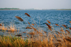 Lake and reed Stock Photography