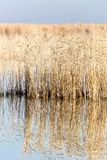 A lake with reeds at dawn in the autumn Royalty Free Stock Photo