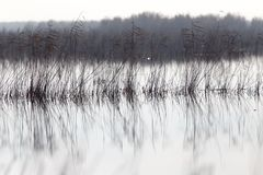 A lake with reeds at dawn in the autumn Stock Photography