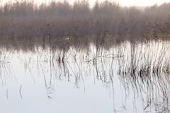 A lake with reeds at dawn in the autumn.  Stock Photos