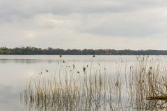 A lake with reeds in the evening Royalty Free Stock Image