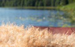 Brown wooden planks with begie dog furry against blue sky and water and green forest and reeds stock photography