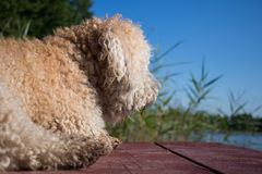 Furry dog against water and green forest and reeds at suuny summer day stock image